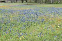 Τέξας bluebonnets με τα ινδικά γενικά λουλούδια Στοκ Εικόνες