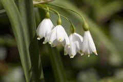 Τέσσερα άγρια λουλούδια snowdrop Στοκ Φωτογραφίες