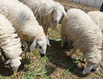 Τέσσερα άσπρα πρόβατα που τρώνε τη χλόη σε ένα αγρόκτημα κατά τη διάρκεια της ημέρας Στοκ Εικόνα