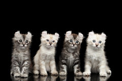 Τέσσερα αμερικανικά γατάκια μπουκλών με τα στριμμένα αυτιά απομόνωσαν το μαύρο υπόβαθρο Στοκ εικόνα με δικαίωμα ελεύθερης χρήσης