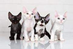 Τέσσερα γατάκια του Ντέβον rex στοκ εικόνα