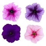 Τέσσερα διαφορετικά λουλούδια πετουνιών που απομονώνονται στο άσπρο υπόβαθρο Στοκ Εικόνα