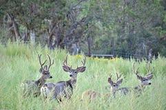 Τέσσερα ελάφια Bucks μουλαριών που στέκονται άγρυπνα σε έναν τομέα των ζιζανίων Στοκ Εικόνες