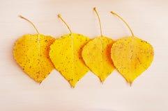 Τέσσερα κίτρινα φύλλα φθινοπώρου cottonwood Στοκ εικόνες με δικαίωμα ελεύθερης χρήσης