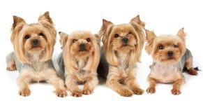 Τέσσερα καλλωπισμένα σκυλιά πέρα από το λευκό Στοκ εικόνες με δικαίωμα ελεύθερης χρήσης