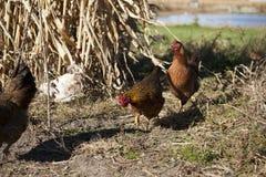 Τέσσερα κοτόπουλα σε έναν τομέα στοκ εικόνα με δικαίωμα ελεύθερης χρήσης