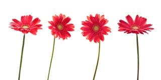Τέσσερα κόκκινα λουλούδια μαργαριτών (gerbera) Στοκ Φωτογραφία