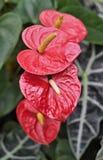 Τέσσερα κόκκινα Anthurium/φλαμίγκο λουλούδια Στοκ Εικόνες
