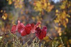 Τέσσερα κόκκινο AutumnLeaves στο κίτρινο κλίμα φύλλων στοκ φωτογραφία με δικαίωμα ελεύθερης χρήσης