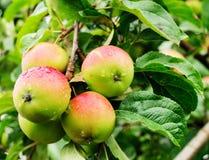 Τέσσερα μήλα σε έναν κλάδο ενός Apple-δέντρου Στοκ Εικόνα