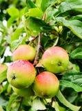 Τέσσερα μήλα σε έναν κλάδο ενός Apple-δέντρου Στοκ φωτογραφία με δικαίωμα ελεύθερης χρήσης