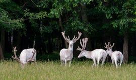 Τέσσερα μεγαλοπρεπή άσπρα deers στην επιφύλαξη παιχνιδιού, δάσος στο backgroung στοκ εικόνες με δικαίωμα ελεύθερης χρήσης