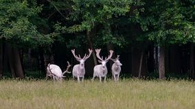 Τέσσερα μεγαλοπρεπή άσπρα deers στην επιφύλαξη παιχνιδιού, δάσος στο bacgroung στοκ εικόνες