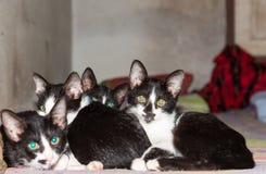 Τέσσερα μικρά μαύρα γατάκια που κοιμούνται μαζί στο κρεβάτι που εξετάζει το θόριο Στοκ Εικόνες