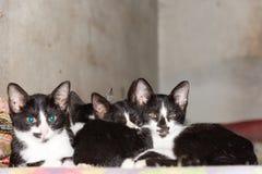 Τέσσερα μικρά μαύρα γατάκια που κοιμούνται μαζί στο κρεβάτι που εξετάζει το θόριο Στοκ Φωτογραφίες