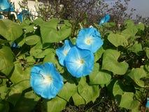 Τέσσερα μπλε λουλούδια σε έναν πράσινο φράκτη λουλουδιών στοκ εικόνες με δικαίωμα ελεύθερης χρήσης