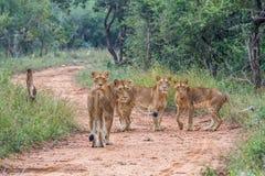Τέσσερα νέα λιοντάρια με πρωταγωνιστή στη κάμερα ζώο, γάτα, άγρια περιοχές, λιοντάρι, άγρια φύση, φύση, αιλουροειδής, carnivore,  Στοκ Φωτογραφίες