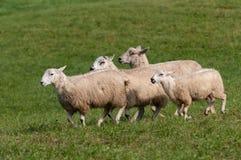 Τέσσερα πρόβατα Ovis aries που οργανώνεται κοντά Στοκ εικόνες με δικαίωμα ελεύθερης χρήσης