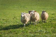 Τέσσερα πρόβατα Ovis aries που οργανώνεται μέσα Στοκ Φωτογραφία