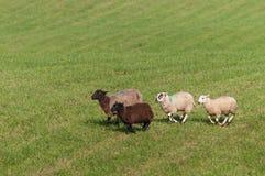 Τέσσερα πρόβατα Ovis aries τρέχουν αριστερά Στοκ εικόνα με δικαίωμα ελεύθερης χρήσης
