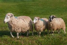 Τέσσερα πρόβατα Ovis aries Στοκ φωτογραφία με δικαίωμα ελεύθερης χρήσης