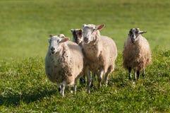 Τέσσερα πρόβατα & x28 Ovis aries& x29  Κάνετε μια στάση Στοκ εικόνες με δικαίωμα ελεύθερης χρήσης
