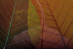 Τέσσερα σκελετός leafs2 Στοκ Φωτογραφίες