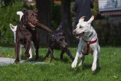 Τέσσερα σκυλιά που παίζουν ευτυχώς από κοινού Στοκ φωτογραφίες με δικαίωμα ελεύθερης χρήσης
