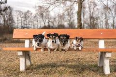 Τέσσερα σκυλιά που πηδούν από έναν πάγκο πάρκων - τεριέ του Russell γρύλων στοκ φωτογραφίες