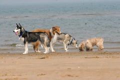 Τέσσερα σκυλιά στην παραλία Στοκ Φωτογραφία