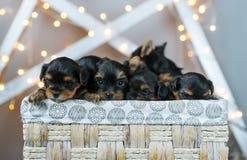 Τέσσερα χαριτωμένα μικρά κουτάβια σκυλιών τεριέ του Γιορκσάιρ σε ένα καλάθι Στοκ Εικόνες