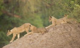 Τέσσερα cubs λιονταριών (panthera του Leo) στο ανάχωμα τερμιτών Στοκ φωτογραφία με δικαίωμα ελεύθερης χρήσης