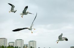 Τέσσερα seagulls κατά την πτήση στοκ εικόνες