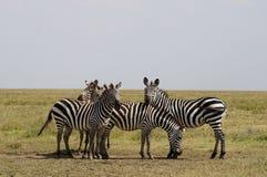 Τέσσερα zebras Στοκ Εικόνες