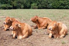 Τέσσερις έγκυες αγελάδες βόειου κρέατος του Λιμουζέν που βρίσκονται μασώντας τον τροφικό βόλο Στοκ Εικόνες