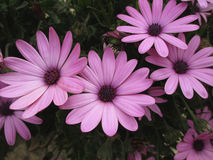 Τέσσερις ανθίζοντας πορφυρά ρόδινα λουλούδια Στοκ εικόνα με δικαίωμα ελεύθερης χρήσης