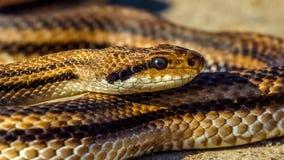 Τέσσερις-ευθυγραμμισμένο φίδι - quatuorlineata Elaphe Στοκ φωτογραφία με δικαίωμα ελεύθερης χρήσης