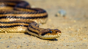Τέσσερις-ευθυγραμμισμένο φίδι - quatuorlineata Elaphe Στοκ φωτογραφίες με δικαίωμα ελεύθερης χρήσης