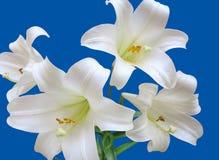Τέσσερις κρίνοι Πάσχας, Lilium Longiflorum, άσπρος κρίνος σαλπίγγων, που απομονώνεται σε ένα μπλε υπόβαθρο στοκ φωτογραφίες