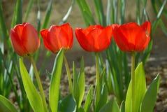 Τέσσερις κόκκινες τουλίπες στον κήπο στοκ φωτογραφία με δικαίωμα ελεύθερης χρήσης