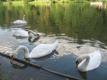 Τέσσερις κύκνοι Στοκ εικόνες με δικαίωμα ελεύθερης χρήσης