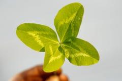 Τέσσερις-με φύλλα τριφύλλι υπό εξέταση Ένα φυτό με 4 φύλλα Ένα σύμβολο του λ Στοκ Φωτογραφία