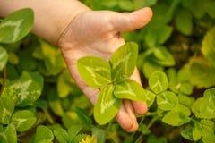 Τέσσερις-με φύλλα τριφύλλι υπό εξέταση Ένα φυτό με 4 φύλλα Ένα σύμβολο του λ Στοκ φωτογραφία με δικαίωμα ελεύθερης χρήσης