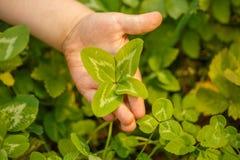 Τέσσερις-με φύλλα τριφύλλι υπό εξέταση Ένα φυτό με 4 φύλλα Ένα σύμβολο του λ Στοκ Φωτογραφίες