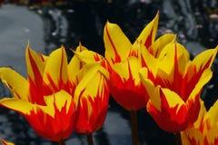 Τέσσερις τουλίπες φτερών πυρκαγιάς Στοκ Εικόνες