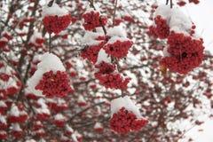 Τέφρα βουνών κλάδων που καλύπτεται με το χιόνι στο χειμερινό δάσος στοκ εικόνες