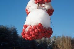 Τέφρα βουνών Brunch που καλύπτεται με το χιόνι στοκ φωτογραφίες
