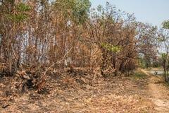 Τέφρα και μμένο δέντρο μετά από την πυρκαγιά Στοκ εικόνες με δικαίωμα ελεύθερης χρήσης