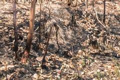 Τέφρα και μμένο δέντρο μετά από την πυρκαγιά Στοκ Εικόνες