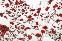 Τέφρα και χιόνι βουνών Στοκ εικόνα με δικαίωμα ελεύθερης χρήσης